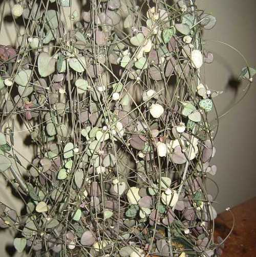 Erna's Rosary Plant